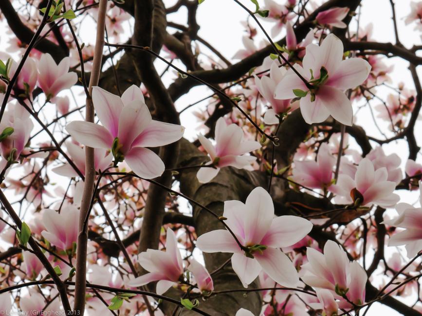 Saucer Magnolia Tulip Tree Saucer Magnolia Tulip Tree