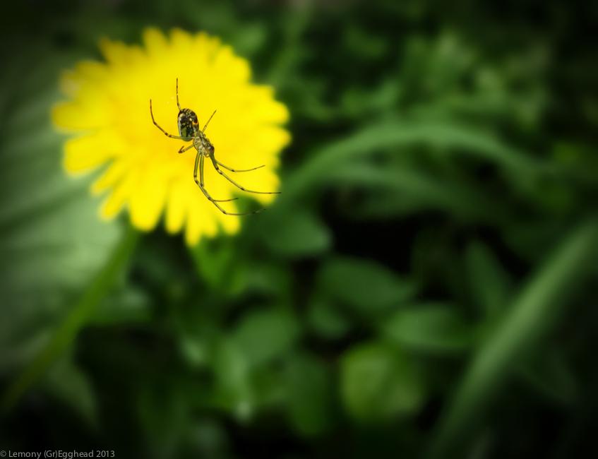 Dandelion Spider