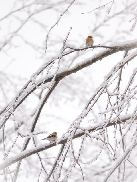 Birds on Icy Limbs