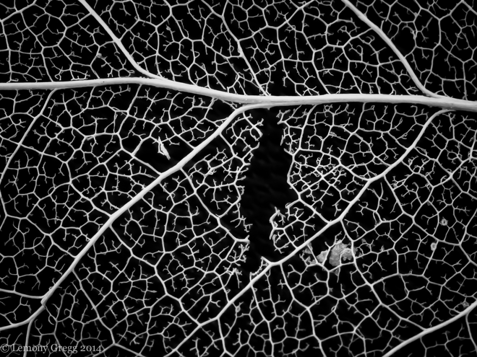 Leaf Skeleton III