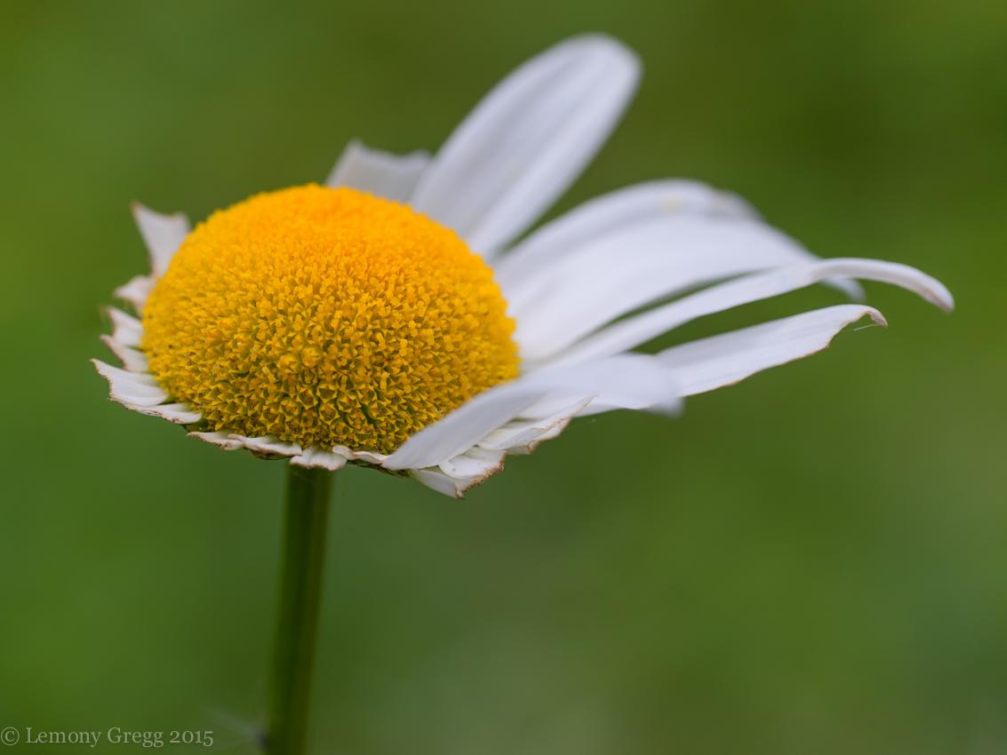 Daisy Lemony Shots