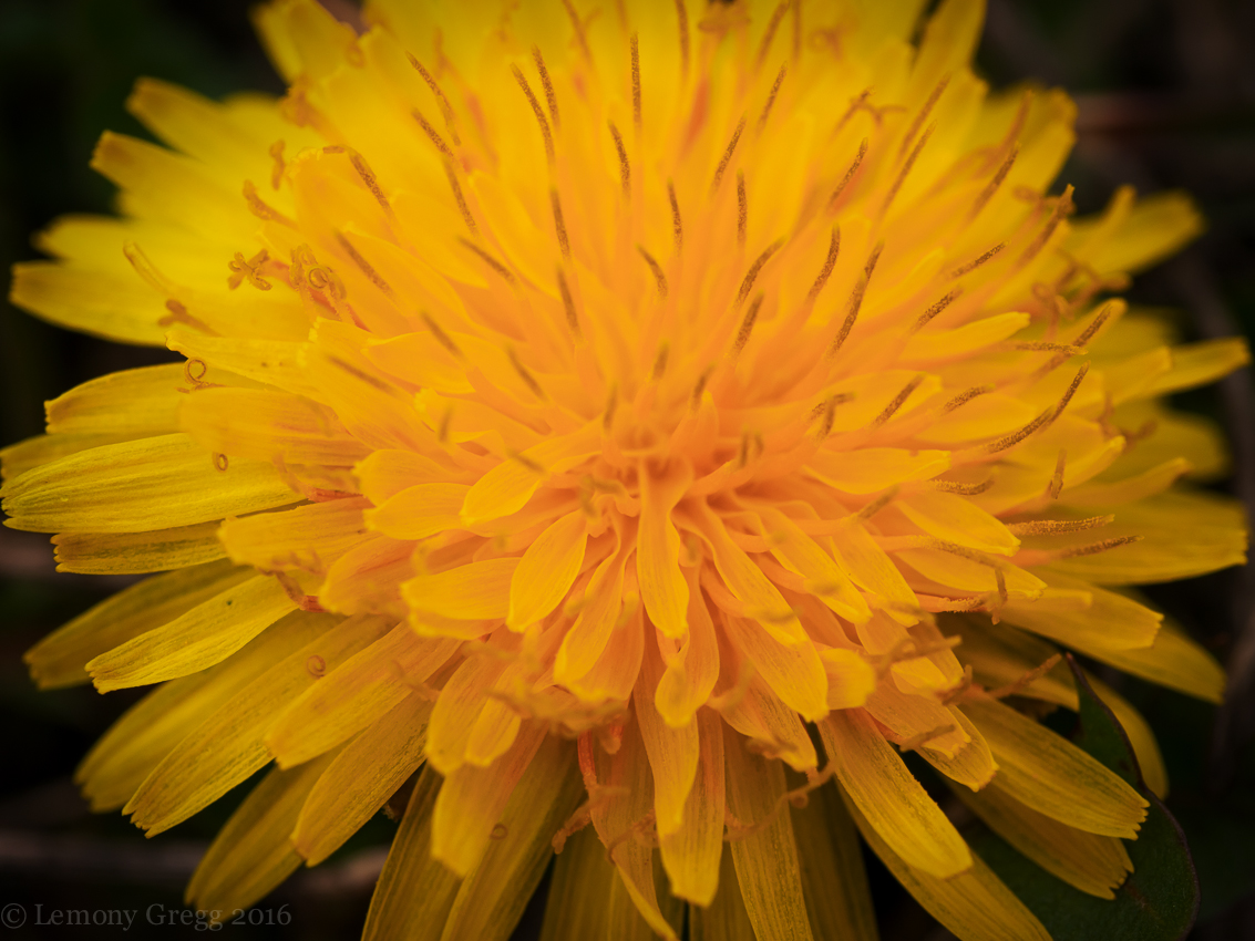 First Dandelion, for George
