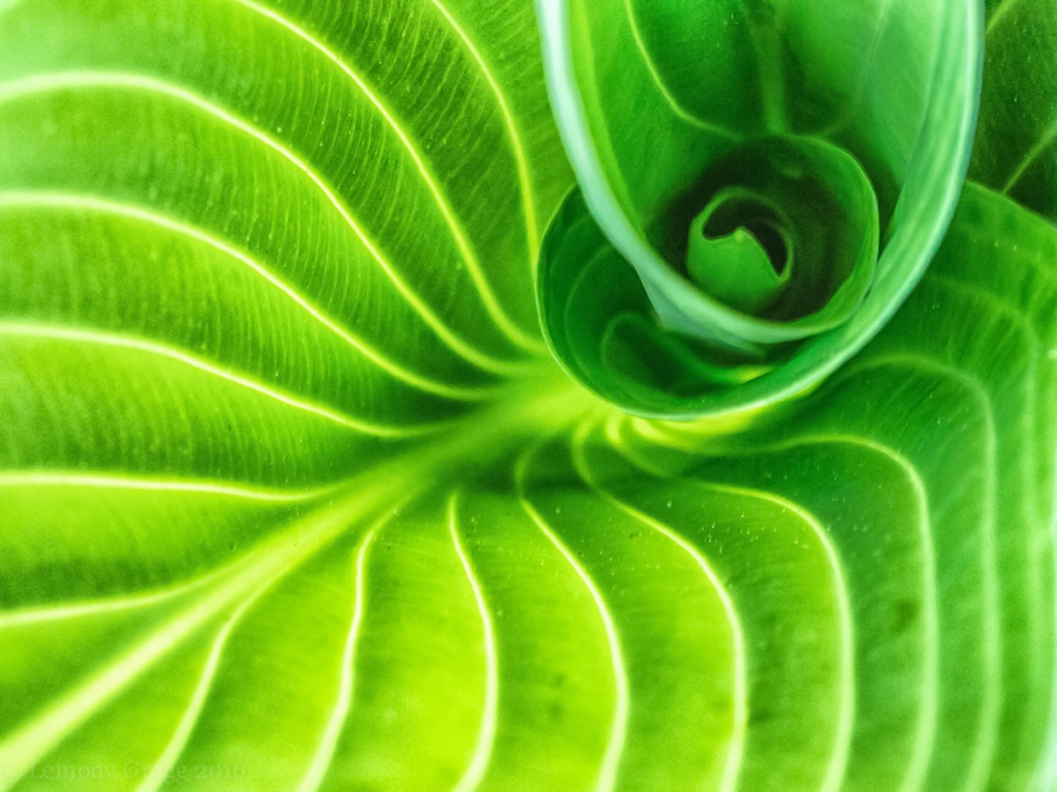birth of a hosta