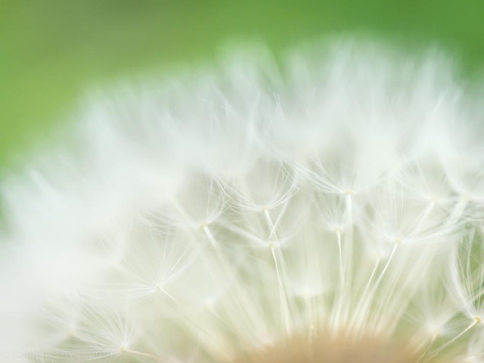 Dandelion Rise