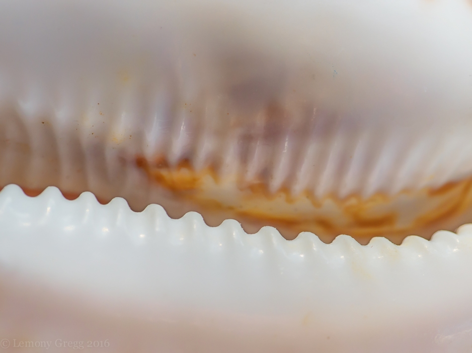 jagged toothed cowry