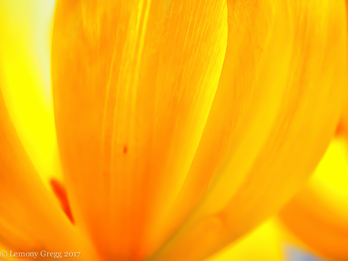 tulipstudy2